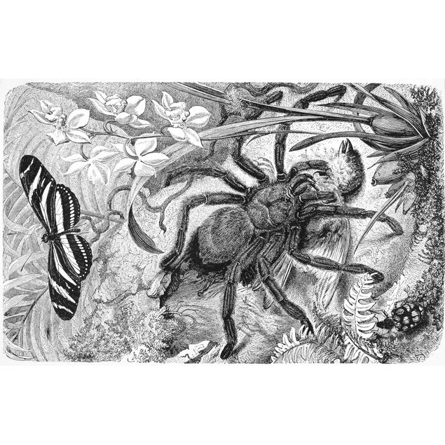 Bird-Eating Spider. /Nsouth American Bird-Eating Spider. Line Engraving. Po