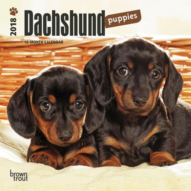 Dachshund Puppies Mini Wall Calendar, Dachshund by Calendars