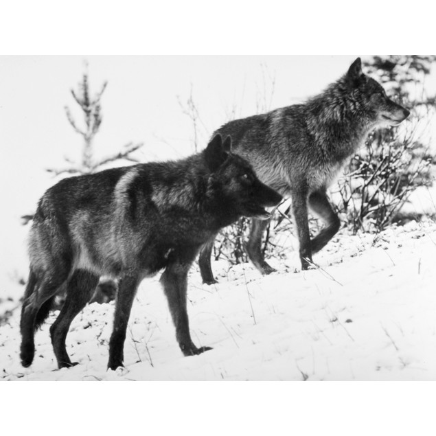 Timber Wolves. /Nphotographed 20Th Century. Poster