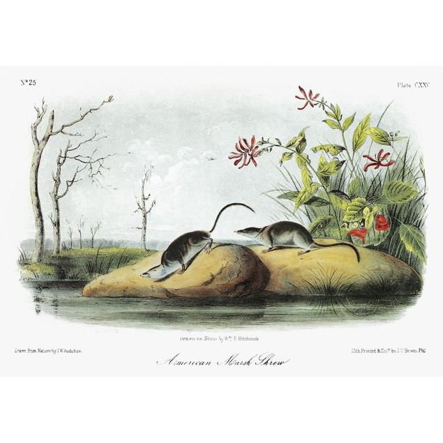Audubon: Shrew. /Namerican, Or Northern, Water Shrew (Sorex Palustris). Lit