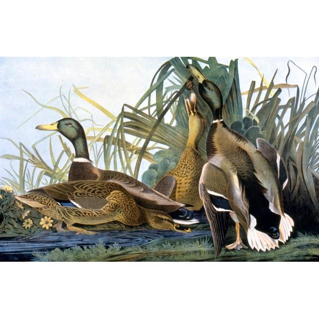 Mallard Duck /N(Anas Platyrhynchos). Lithograph, 1858, By Julius Bien After