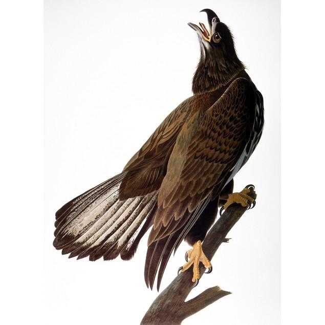 Audubon: Bald Eagle. /N[Immature] Bald Eagle (Haliaeetus Leucocephalus), Fr