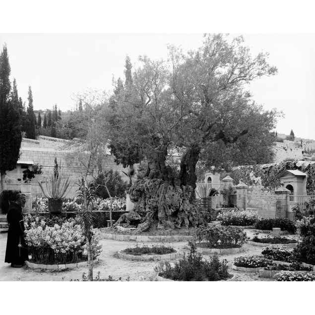 Garden Of Gethsemane. /Na Priest With Old Olive Trees Inside The Garden Of