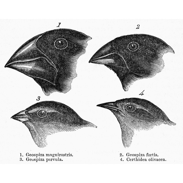Darwin: Galapagos Finches. /Nthe Page From A 19Th Century Edition Of Charle