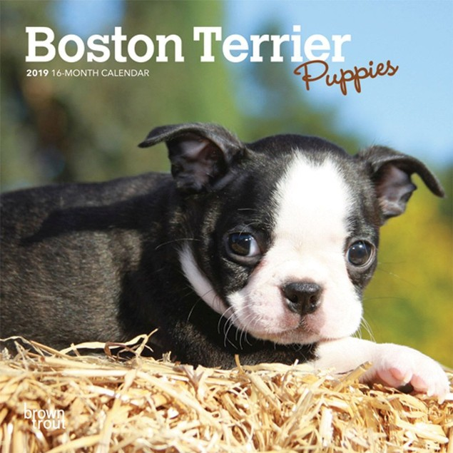 Boston Terrier Puppies Mini Wall Calendar, Boston Terrier by Calendars