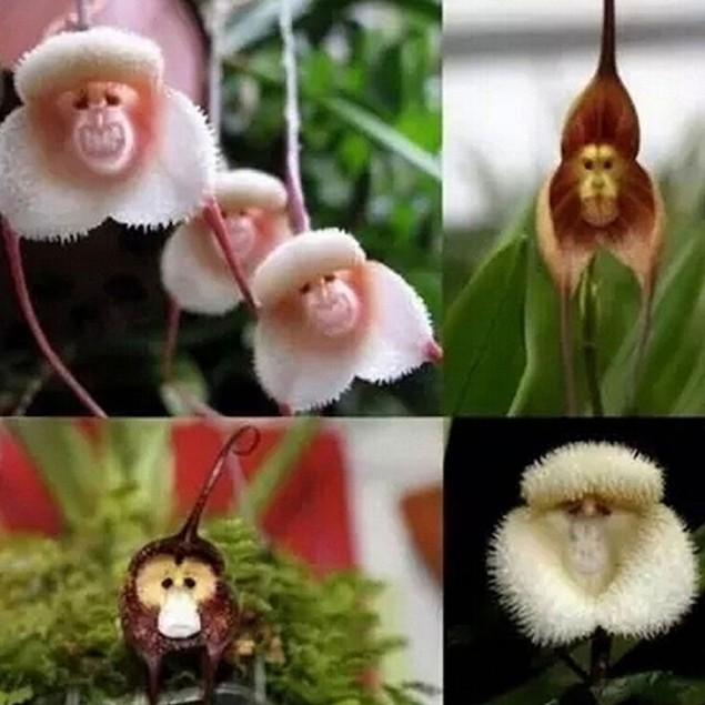 20 Pcs Monkey Face Orchid Flower Seeds Bonsai Homeing Plant Seed