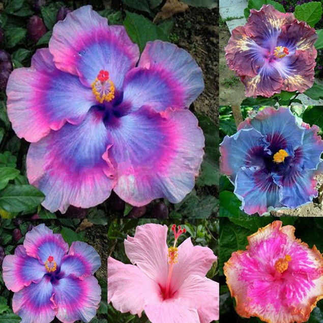 100Pc Rare Rainbow Giant Hibiscus Seeds Potted Plant Perennial Flower Seed