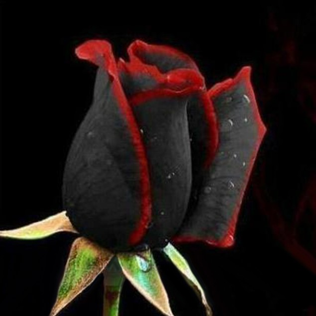 50Pcs/Pack Rare Black Rose with Red Edge Seeds Home Plant Flower Seed