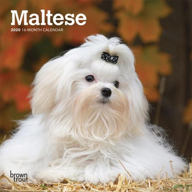 Maltese Mini Wall Calendar, Maltese by Calendars