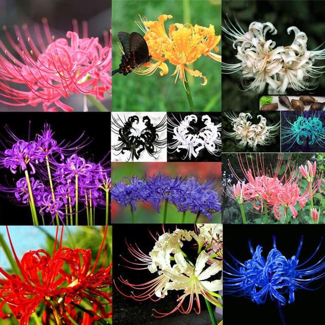 5Pcs Bulbs Lycoris Radiata Spider Lily Bulb Seeds Home Flower Seeds Decor