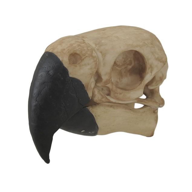 Tropical Black Billed Parrot Skull Statue Statues