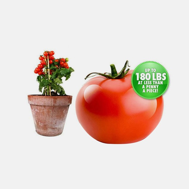 6 Plants - Giant Tomato Tree Garden